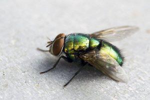utiliser des astuces naturelles pour se débarrasser des mouches
