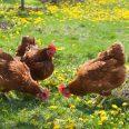 poules-jardin