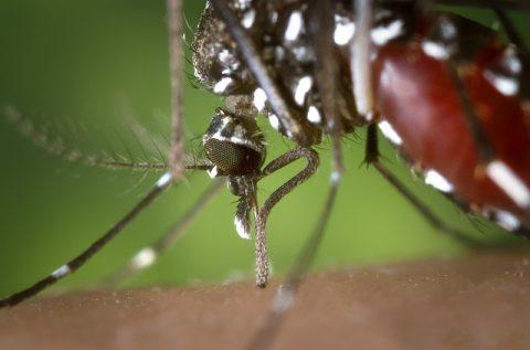 Moustique-tigre : quelle protection anti-moustique choisir ?
